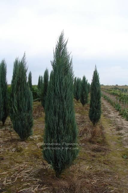 Можжевельник скальный Блю Арроу/Блю Эрроу (Juniperus scopolorum Blue Arrow) ФОТО Питомник растений Природа Priroda (105)
