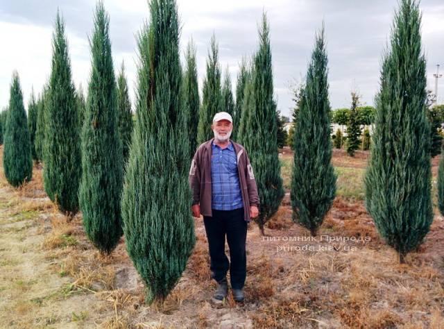 Ялівець скельний Блю Арроу / Блю Ерроу (Juniperus scopolorum Blue Arrow) ФОТО Розплідник рослин Природа Priroda (106)