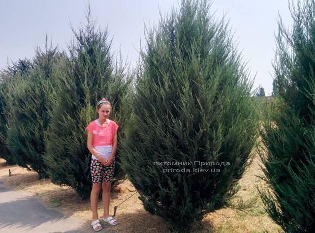 Ялівець скельний Скайрокет (Juniperus scopulorum Skyrocket) ФОТО Розплідник рослин Природа Priroda (120)