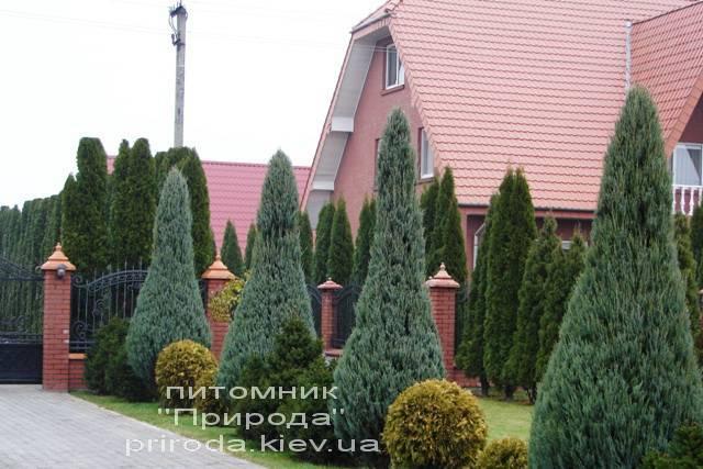 Ялівець скельний Скайрокет (Juniperus scopulorum Skyrocket) ФОТО Розплідник рослин Природа Priroda (119)