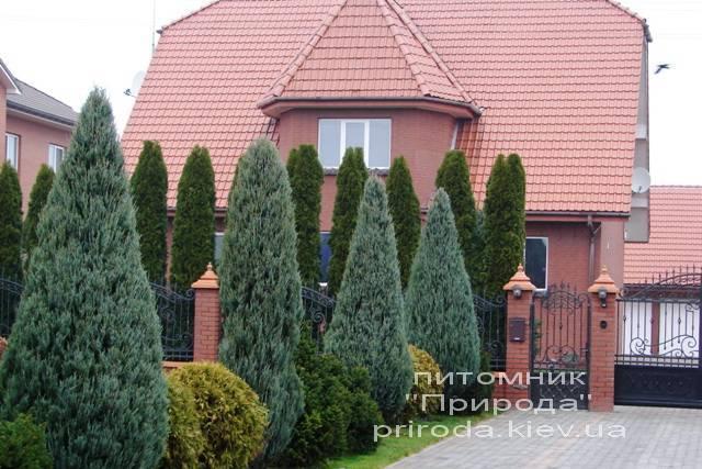 Ялівець скельний (Juniperus scopulorum) ФОТО Розплідник декоративних рослин Природа Priroda (93)