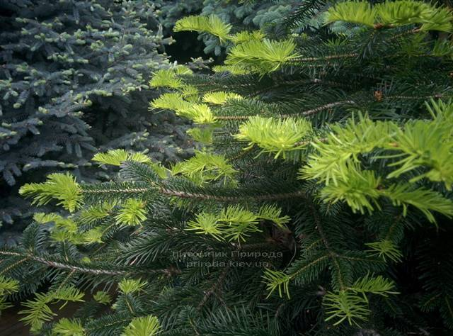 Ялиця Нордмана / кавказька (Abies Nordmanniana) ФОТО Розплідник рослин Природа Priroda (19)