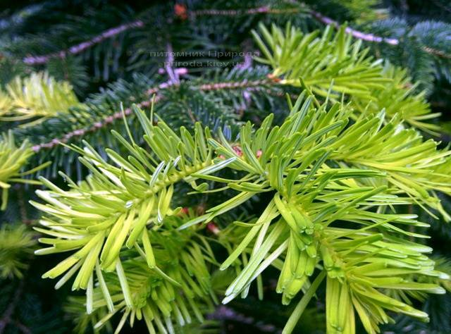 Пихта Нордмана/кавказская (Abies Nordmanniana) ФОТО Питомник растений Природа Priroda (20)