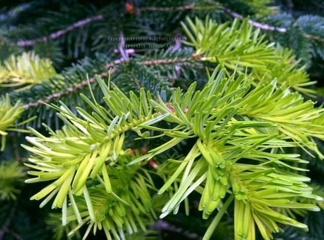 Ялиця Нордмана / кавказька (Abies Nordmanniana) ФОТО Розплідник рослин Природа Priroda (20)