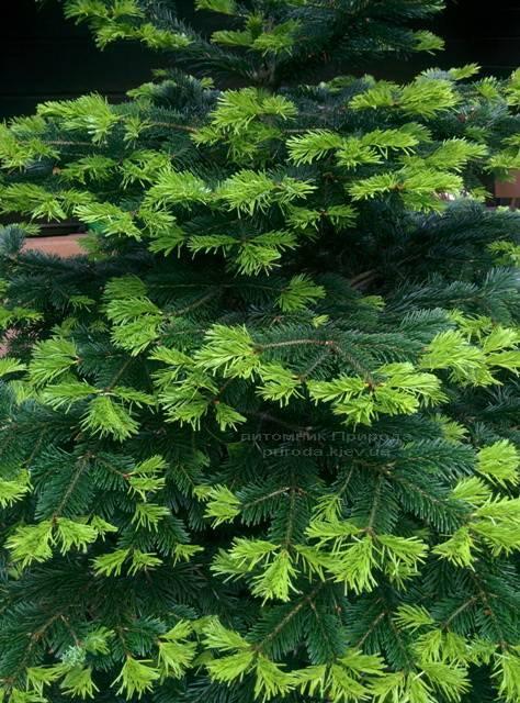 Пихта Нордмана/кавказская (Abies Nordmanniana) ФОТО Питомник растений Природа Priroda (21)