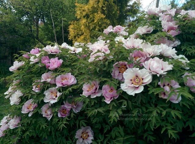 Пион древовидный (Paeonia) ФОТО Питомник растений Природа (14)