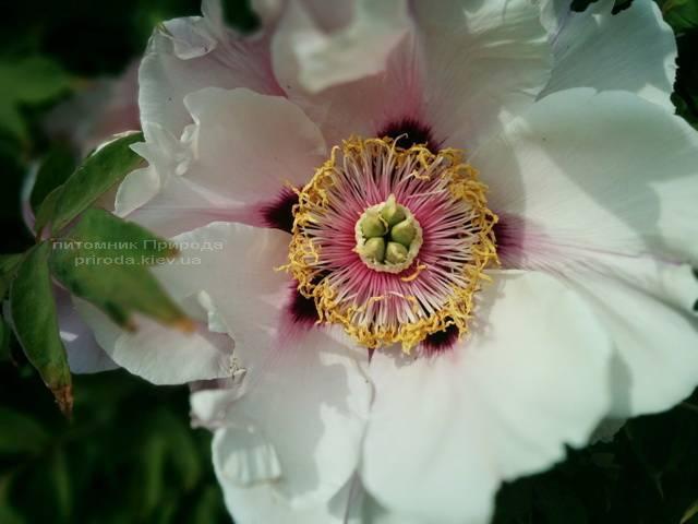 Пион древовидный (Paeonia) ФОТО Питомник растений Природа (17)