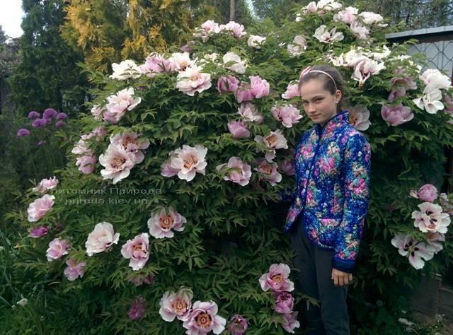 Пион древовидный (Paeonia) ФОТО Питомник растений Природа (21)