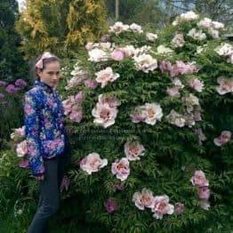 Пион древовидный (Paeonia) ФОТО Питомник растений Природа (22)