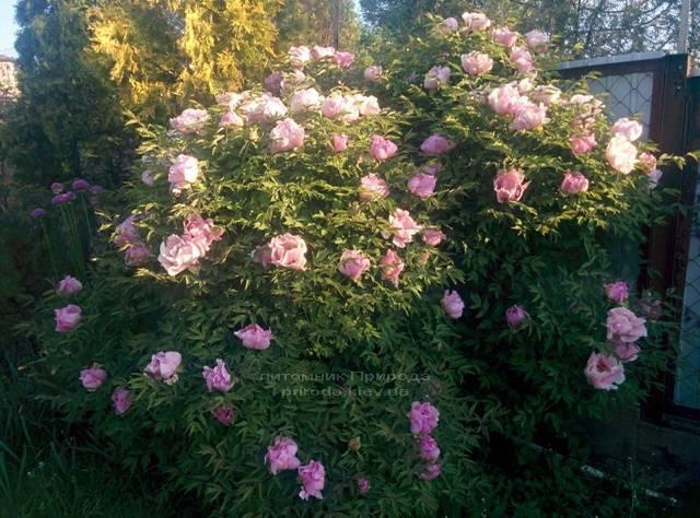 Пион древовидный (Paeonia) ФОТО Питомник растений Природа (4)