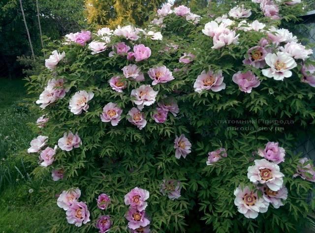Пион древовидный (Paeonia) ФОТО Питомник растений Природа (7)
