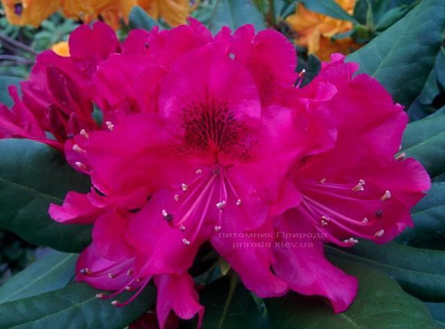 Рододендрон крупноцветковий Нова Зембли (Rododendron Nova Zembla) ФОТО Розплідник рослин Природа Priroda (73)
