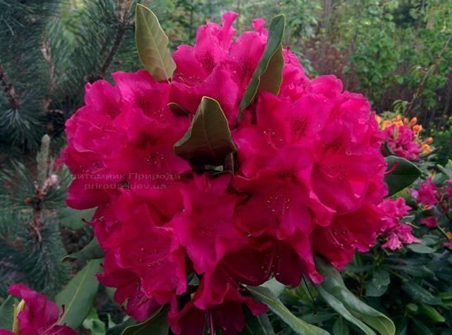 Рододендрон крупноцветковий Нова Зембли (Rododendron Nova Zembla) ФОТО Розплідник рослин Природа Priroda (74)