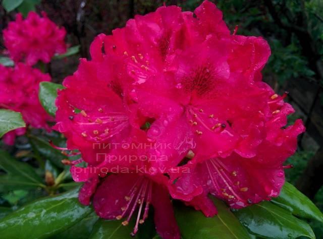Рододендрон крупноцветковий Нова Зембли (Rododendron Nova Zembla) ФОТО Розплідник рослин Природа Priroda (75)