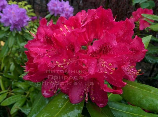 Рододендрон крупноцветковий Нова Зембли (Rododendron Nova Zembla) ФОТО Розплідник рослин Природа Priroda (76)