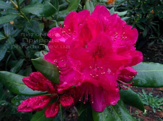Рододендрон крупноцветковий Нова Зембли (Rododendron Nova Zembla) ФОТО Розплідник рослин Природа Priroda (77)