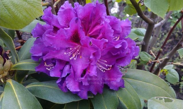 Рододендрон крупноцветковый Распутин (Rododendron Rasputin) ФОТО Питомник растений Природа Priroda (94)