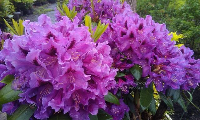 Рододендрон крупноцветковый Распутин (Rododendron Rasputin) ФОТО Питомник растений Природа Priroda (95)