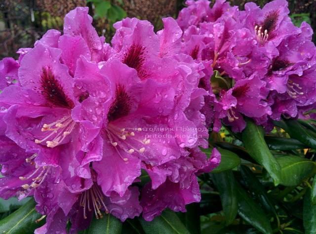 Рододендрон крупноцветковый Распутин (Rododendron Rasputin) ФОТО Питомник растений Природа Priroda (96)