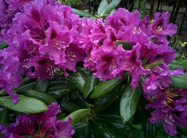 Рододендрон крупноцветковый Распутин (Rododendron Rasputin) ФОТО Питомник растений Природа Priroda (97)