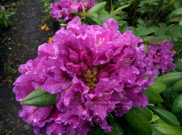 Рододендрон крупноцветковый Распутин (Rododendron Rasputin) ФОТО Питомник растений Природа Priroda (98)