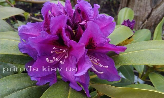 Рододендрон крупноцветковый Распутин (Rododendron Rasputin) ФОТО Питомник растений Природа Priroda (99)