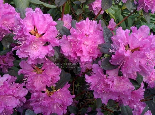 Рододендрон мелкоцветковый Rododendron P.J.M. Elite ФОТО Питомник растений Природа Priroda (85)