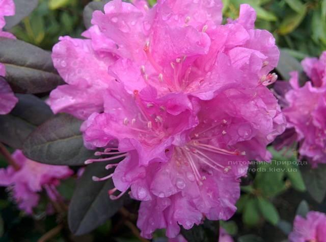 Рододендрон мелкоцветковый Rododendron P.J.M. Elite ФОТО Питомник растений Природа Priroda (91)