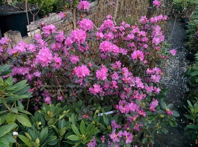 Рододендрон мелкоцветковый Rododendron P.J.M. Elite ФОТО Питомник растений Природа Priroda (86)