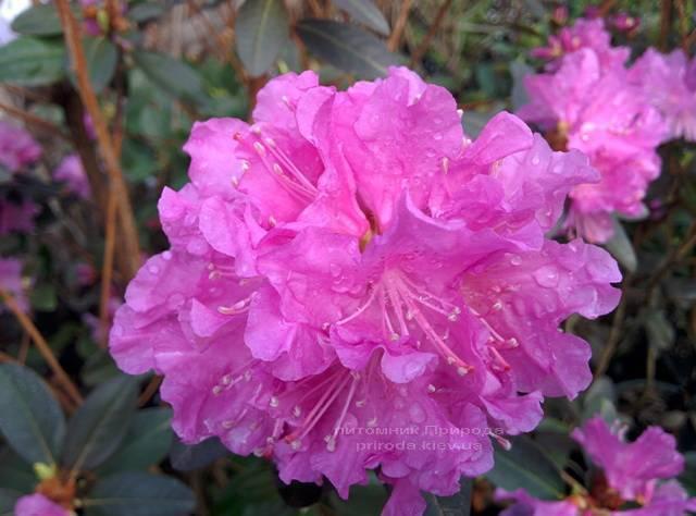 Рододендрон мелкоцветковый Rododendron P.J.M. Elite ФОТО Питомник растений Природа Priroda (87)