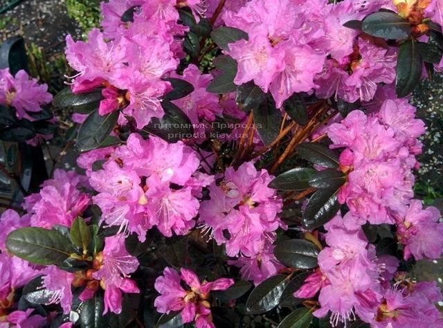 Рододендрон мелкоцветковый Rododendron P.J.M. Elite ФОТО Питомник растений Природа Priroda (89)