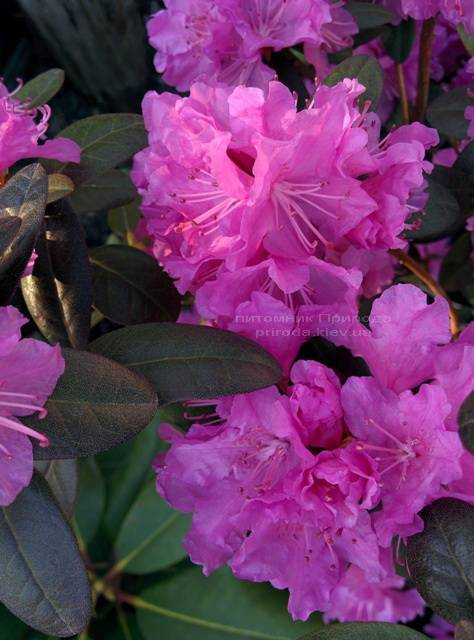 Рододендрон мелкоцветковый Rododendron P.J.M. Regal ФОТО Питомник растений Природа Priroda (78)