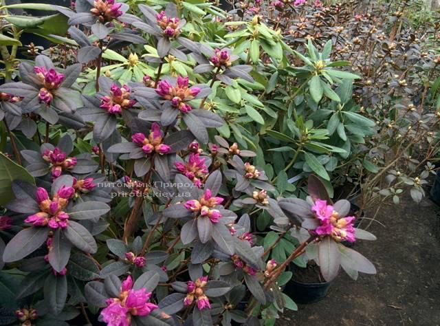 Рододендрон мелкоцветковый Rododendron P.J.M. Regal ФОТО Питомник растений Природа Priroda (81)