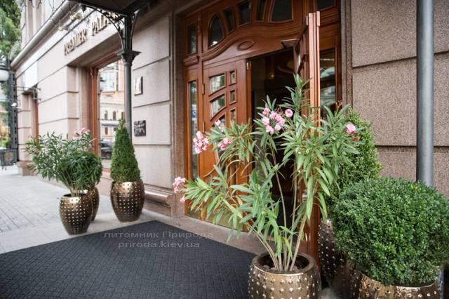 Самшит вічнозелений кулю, конус. Готель Premier Palace Hotel, м.Київ