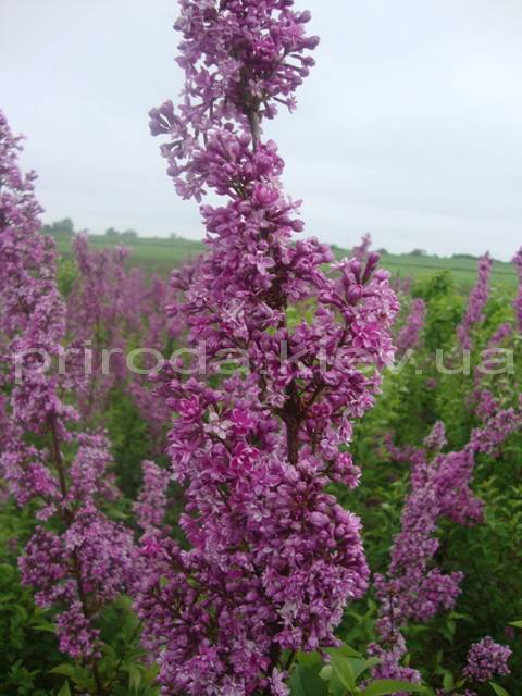 Сирень китайская (Syringa x chinensis) ФОТО Питомник растений Природа Priroda (9)