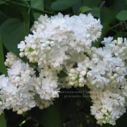 Сирень обыкновенная Мадам Лемуан (Syringa vulgaris Mme Lemoine) ФОТО Питомник растений Природа Priroda (29)