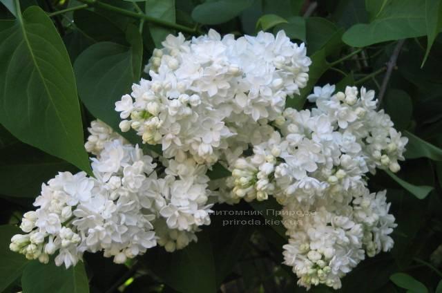 Бузок Мадам Лемуан (Syringa vulgaris Mme Lemoine) ФОТО Розплідник рослин Природа (29)