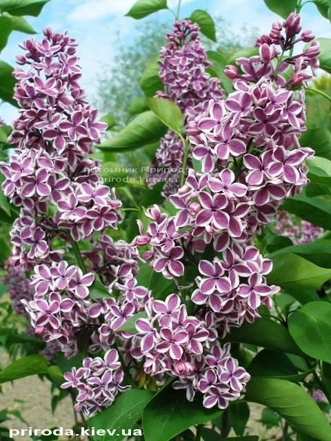 Сирень обыкновенная Сенсация (Syringa vulgaris Sensation) ФОТО Питомник растений Природа Priroda (14)