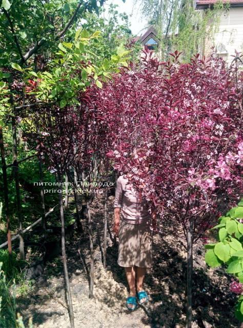 Слива цистена на штамбе (Prunus cistena) ФОТО Питомник растений Природа Priroda (14)