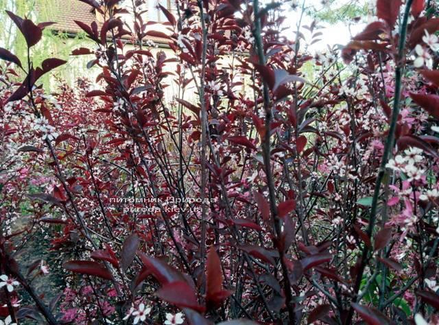 Слива цистена на штамбе (Prunus cistena) ФОТО Питомник растений Природа Priroda (16)