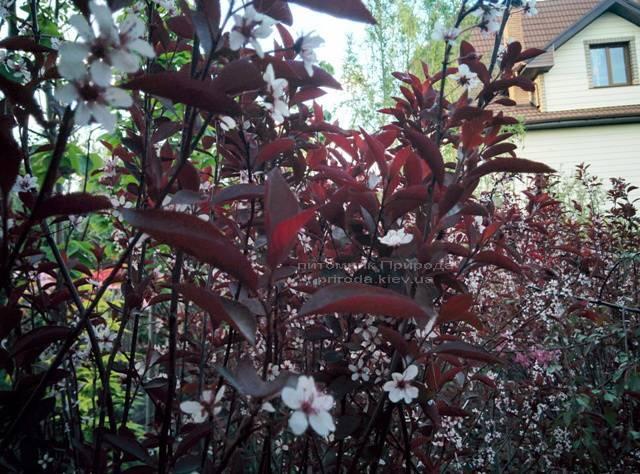 Слива цистена на штамбе (Prunus cistena) ФОТО Питомник растений Природа Priroda (17)