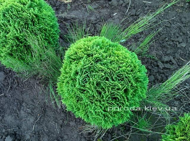 Туя западная Даника (Thuja occidentalis Danica) ФОТО Питомник растений Природа Priroda (3)