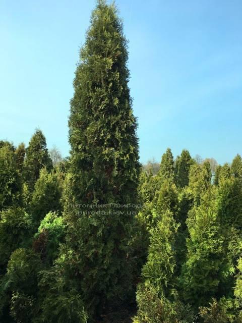 Туя западная колоновидная Колумна (Thuja occidentalis Columna) ФОТО Питомник растений Природа Priroda (34)