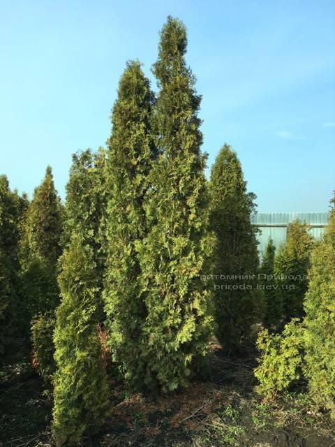 Туя западная колоновидная Колумна (Thuja occidentalis Columna) ФОТО Питомник растений Природа Priroda (36)