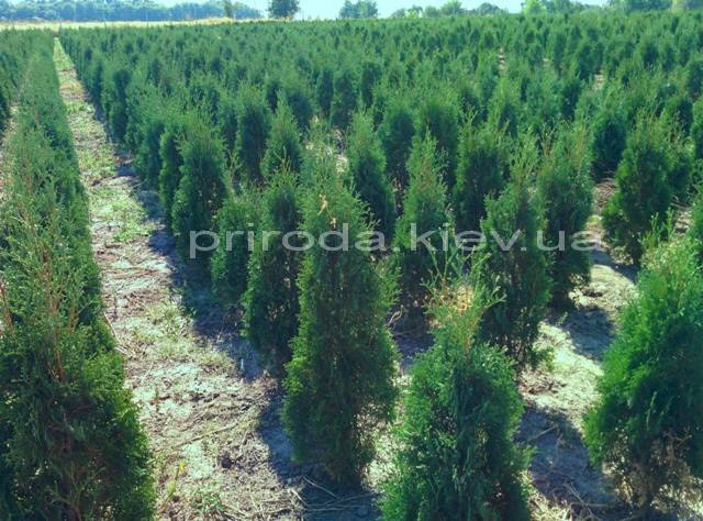 Туя західна колоновидна Колумна (Thuja occidentalis Columna) ФОТО Розплідник рослин Природа Priroda