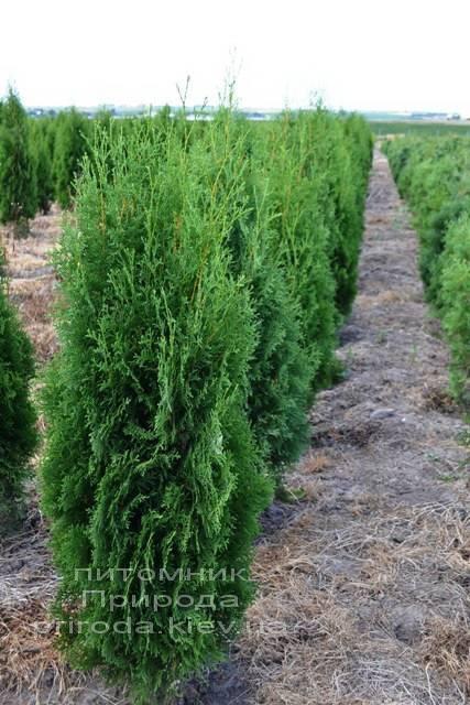 Туя західна колоновидна Колумна (Thuja occidentalis Columna) ФОТО Розплідник рослин Природа Priroda (49)