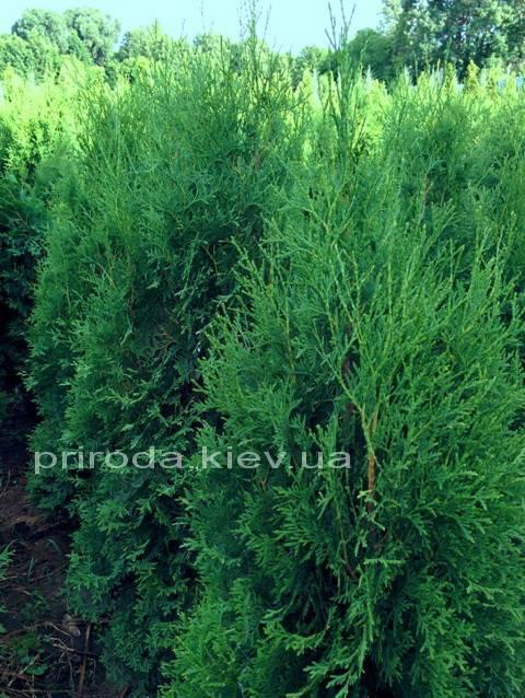 Туя западная колоновидная Колумна (Thuja occidentalis Columna) ФОТО Питомник растений Природа Priroda (50)