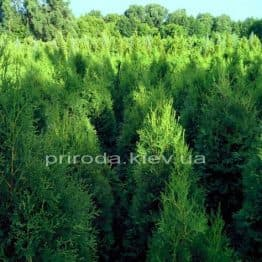 Туя западная колоновидная Колумна (Thuja occidentalis Columna) ФОТО Питомник растений Природа Priroda (54)