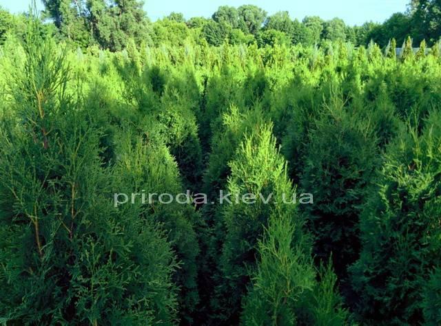 Туя західна колоновидна Колумна (Thuja occidentalis Columna) ФОТО Розплідник рослин Природа Priroda (54)