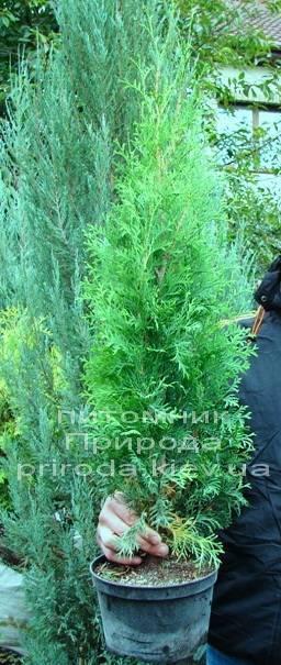 Туя західна колоновидна Колумна (Thuja occidentalis Columna) ФОТО Розплідник рослин Природа Priroda (41)